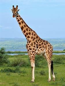 Rothschild's giraffe - Wikipedia  Giraffe