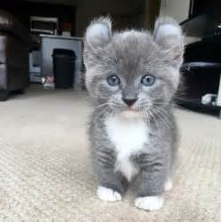 how much are cats 21 reasons why you need a munchkin cat asap purrtacular