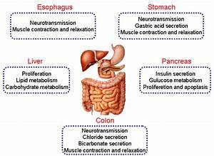 Digestive System Diagram With Labels And Functions