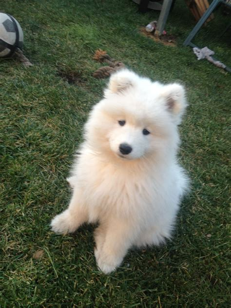 Samoyed Sooo Fricken Cute ωαу тσσ α∂σяαвℓє Dogs