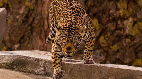 Download 1920x1080 wallpaper jaguar, predator, wild, full ...