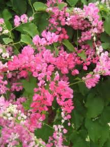 Pink Flowering Vines with Flowers