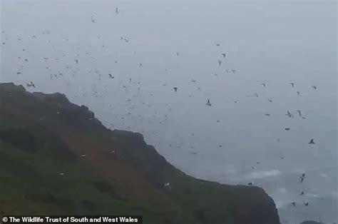Spectacular Footage Shows Vortex Puffins