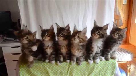 kittens born april   gc triskel naomi sun  gc