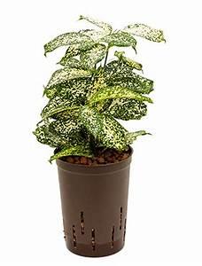 Hydrokultur Pflanzen Kaufen : hydrokultur pflanzen im kulturtopf 15 x 19 cm hydrokulturen kaufen ~ Buech-reservation.com Haus und Dekorationen