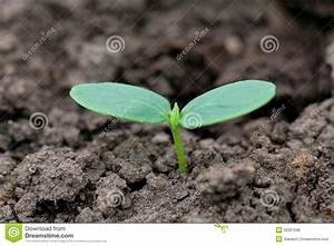 Cucumber Seedling Royalty Free Stock Photos - Image: 32267298