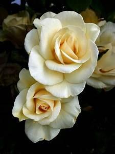 Langage Des Fleurs Pivoine : rose white roses pinterest fleurs rose et fleur jardin ~ Melissatoandfro.com Idées de Décoration