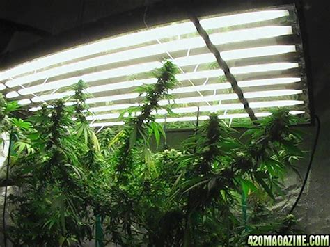 growing plants with fluorescent lights show me your t5 fluorescent light grow