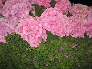Hydrangeas Grow Well Under Walnut Trees – The Smarter Gardener