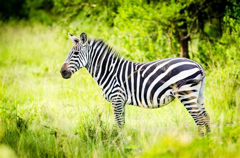 Zebra Animal Wallpaper - zebra hd wallpapers free
