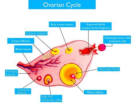 pain ovulation mittelschmerz uterus happy nurturance painful heavy alignment bleeding category