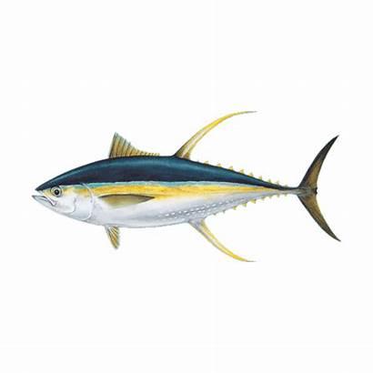 Fish Tuna Fresh Fin Yellow Tail Yellowfin