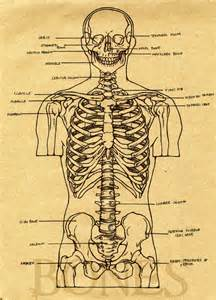Skeleton Anatomy Study Guide