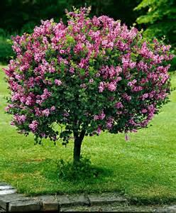 standard lilac trees and shrubs from spalding bulb www sellabiz gr πωλησεισ επιχειρησεων