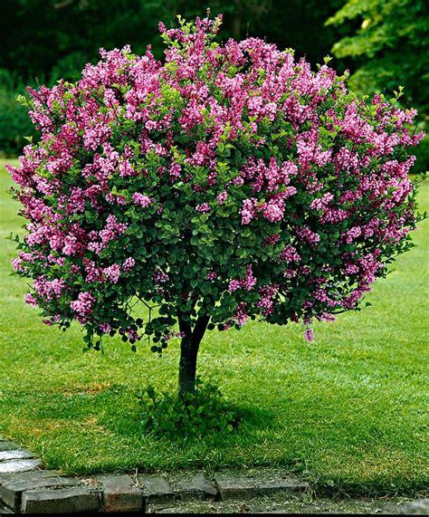 small flowering trees dwarf standard lilac trees and shrubs from spalding bulb www sellabiz gr πωλησεισ επιχειρησεων