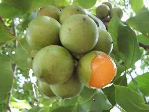 Are the tropical fruits mamones and marañon available in ...