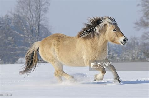 Fjord Pictures by Fjord Horse Or Norwegian Fjord Horse Running In The Snow