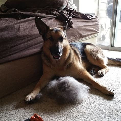 german shepherd shedding grooming and 3 usefil tips