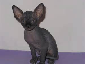 black sphynx cat black sphynx of sphynx