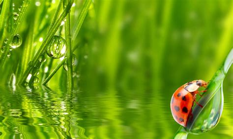 lady bug insect water grass morning dew drop hd wallpaper