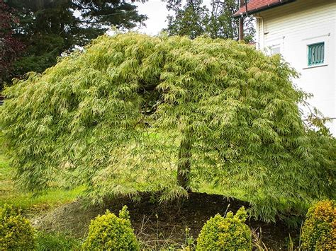 green weeping japanese maple weeping japanese maple viridis for sale online the tree center
