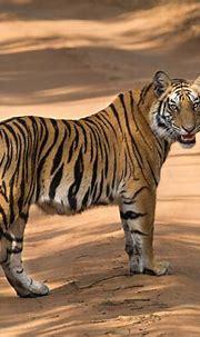Juvenile male Royal Bengal Tiger (Rajbhra's cub-R3) 1062 ...