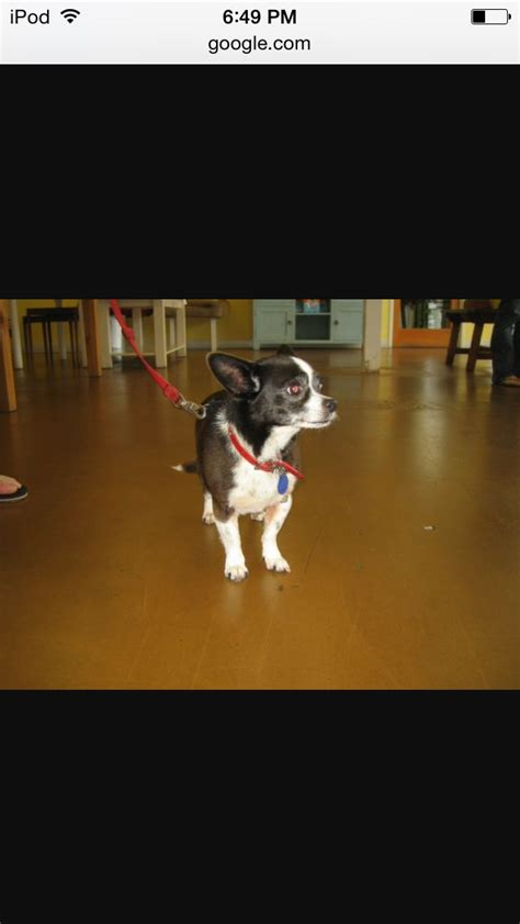 boston terrier chihuahua dogs images  pinterest