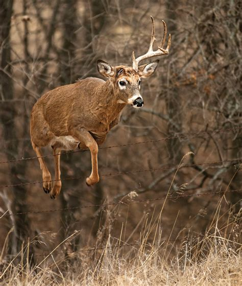 what causes a buck to lose its antlers the hunting page