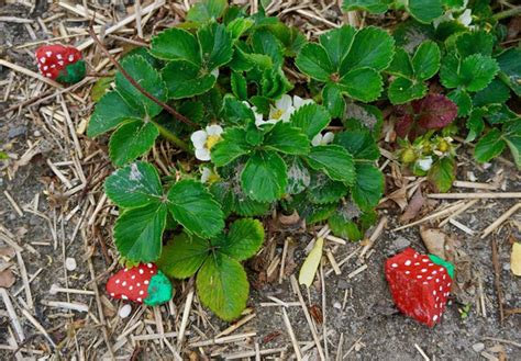 keep birds out of garden can rocks keep birds out of a strawberry patch community