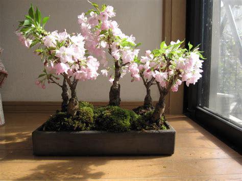 cobonsai    cherry tree bonsai  cherry blossom
