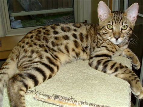 Bengal Adult Picture