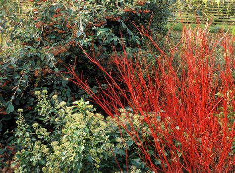 dogwood bush red twig dogwood shrubs care and growing tips