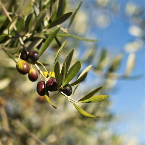olive tree leaves olive leaf extract and arthritis livestrong 1179
