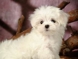 Lovely Little White Fluffy Puppy Wallpaper 20 1200x900 ...