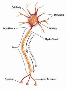 Our Electric Mind  The Neuron Doctrine