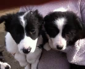 Border Collie Puppies Sale