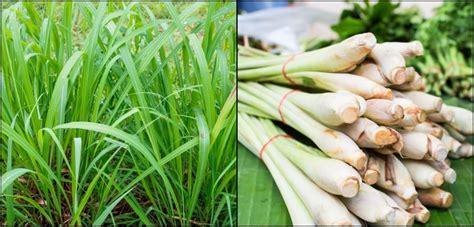 grow lemongrass  brilliant ways