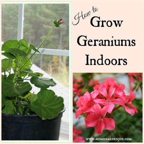 geranium indoors can geraniums grow indoors home garden joy