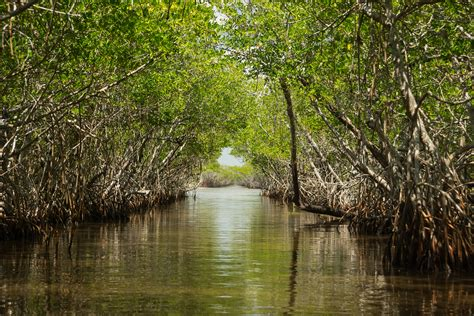 The Mangroves of the Everglades - Captain Mitch's