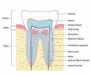 All About Root Canals