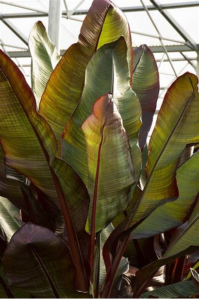 Banana Leaved Plants Plant Palm Leaves Tropical