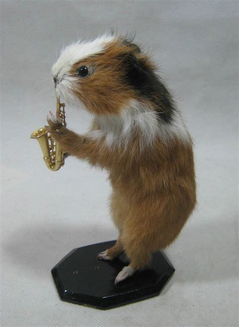 taxidermy cute small farm animal real guinea pig playing