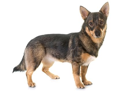 swedish vallhund dog breed information