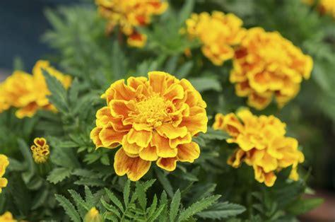 flower not flowering marigold plants not flowering reasons marigolds are not blooming