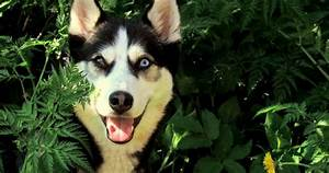 So You Want To Own A Husky Think About These 5 Husky Facts