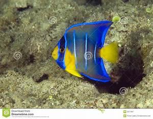 Juvenile Blue Angelfish stock image. Image of icthyology ...