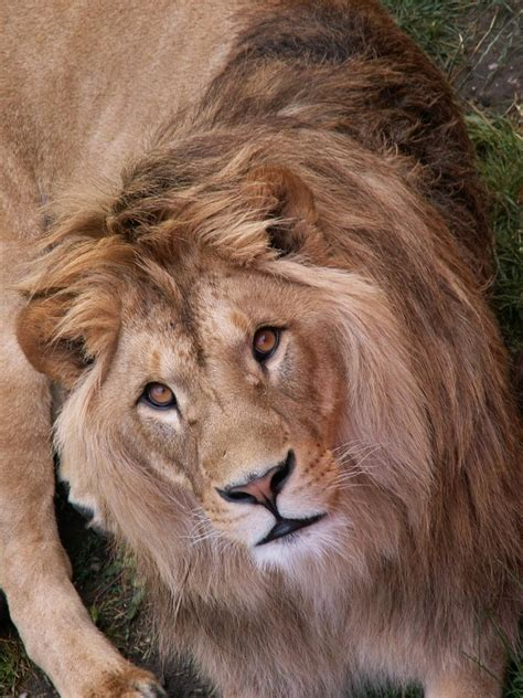 lets draw endangered species barbary lion