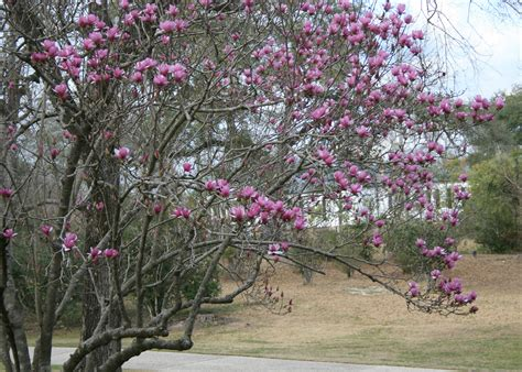 japanese magnolia tree facts bald cypress japanese maple magnolias excel in landscapes mississippi state university
