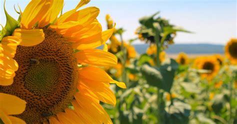 Saules pielietie ziedi: saulespuķes un to žilbinošā ziedēšana - DELFI
