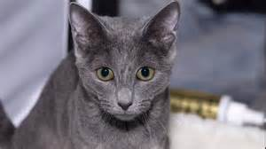 russian blue cat personality what is the personality of a russian blue cat reference